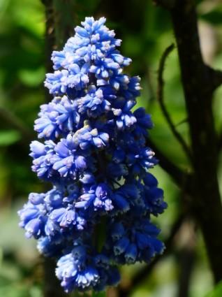 hyacinth-muscari-armeniacum-flower-anggur eceng gondok
