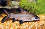 ikan wader goa