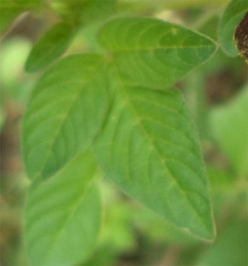 daun oval lancip