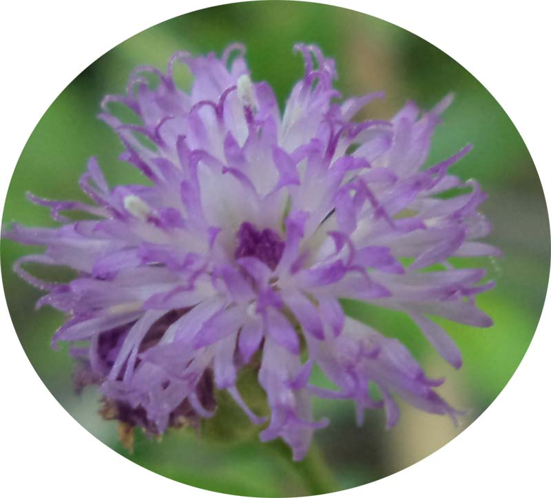 Vernonia Cinerea, Bunga Sederhana Pemikat Kupu-kupu
