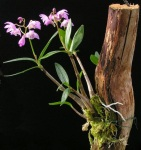 Dendrobiumkingianum22