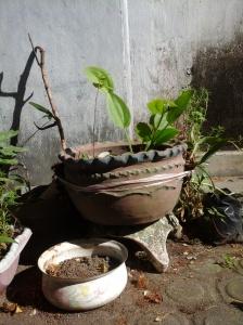 Tempayan berisi pot melati air yang berlubang di sisi bawah saya sumbat dengan plastik agar tak bocor dan saya tempelkan anggrek dendro serta scorpion - untuk ujicoba