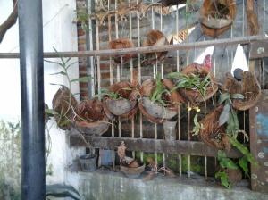 Palang kayu saya gantungi anggrek dengan media sabut kelapa – ikut-ikutan nursery dari Thailand sono