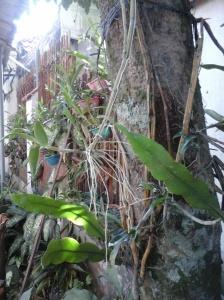 Dendro Ungu pada pohon rambutan