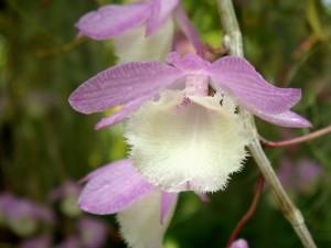 Dendrobium aphyllum lidah putih