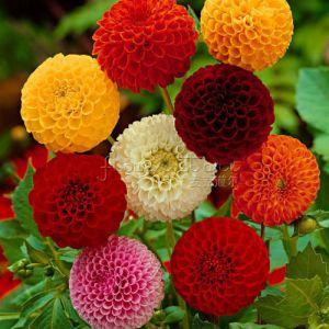100-biji-dahlia-Pompon-indah-kebun-Bunga-cantik-Warna-campuran-Taman-rumah