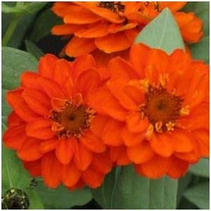 zinnia yang sekilas sulit dibedakan dengan bunga dahlia