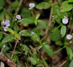 220px-Rostellularia_species_in_Talakona_forest_AP_W_IMG_8313