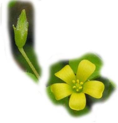bunga-dan-kuncup