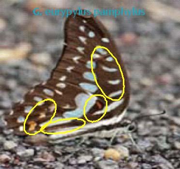 G. eurypylus pamphylus