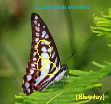G. evemon eventus
