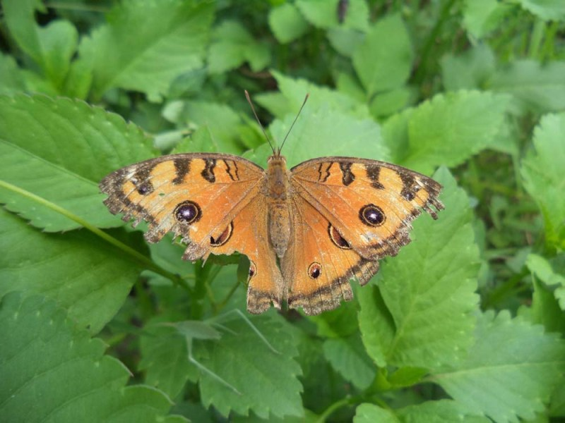 Peacock Pansy UP (Junonia almana