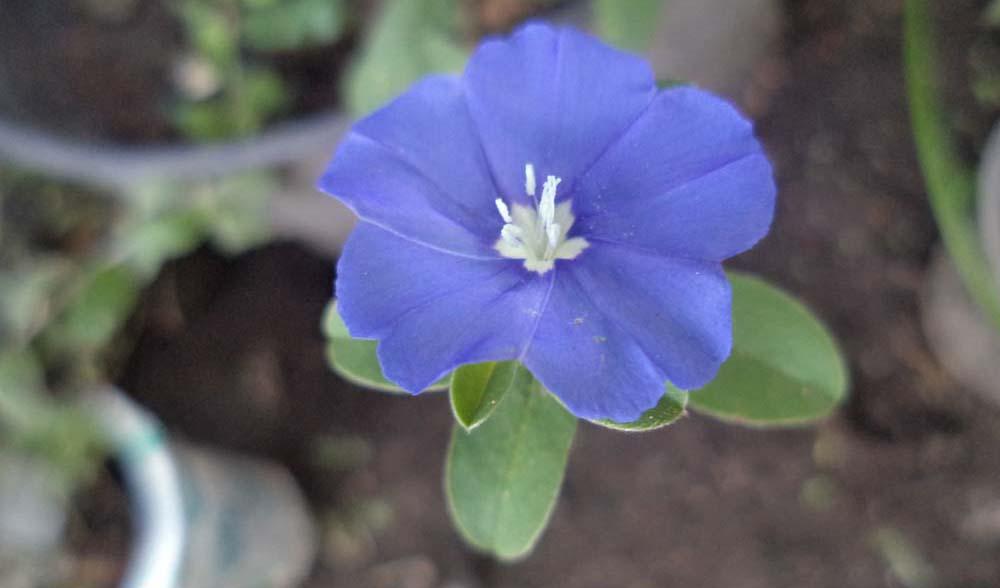 Si Mata Biru Yang Mempesona Evolvulus Glomeratus Bluepurplegarden