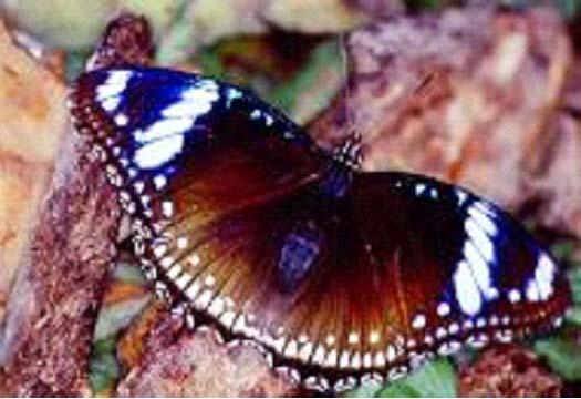 Hypolimnas bolina philippensis