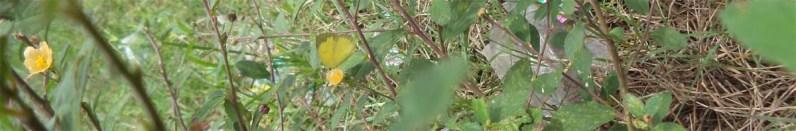 pada bunga sidoguri2