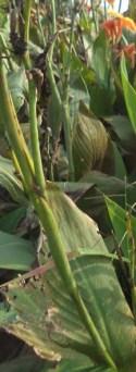daun batang hijau
