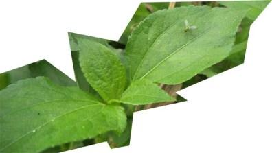 daun ujung batang