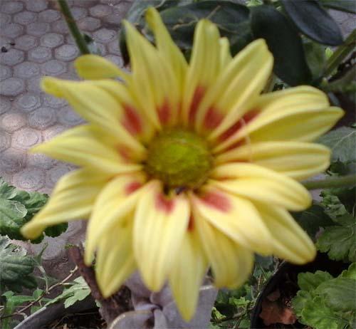 kuning. bicolorjpg