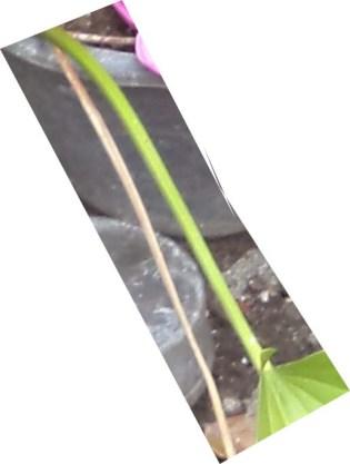 tangkai daun