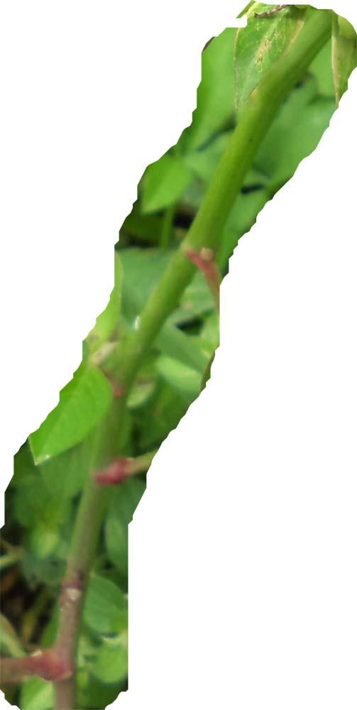 batang