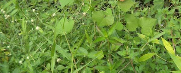berkoloni-dg-berbagai-macam-rumput