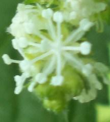 bunga-jantan1