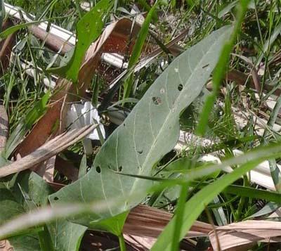 kangdar-daun