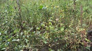 koloni tumbuhan liar bertipe area terbuka