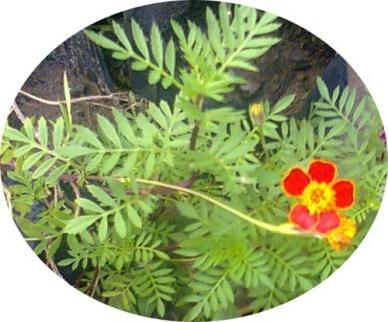 Marigold Tagetes erecta