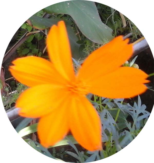 Orange Cosmos sulphureus