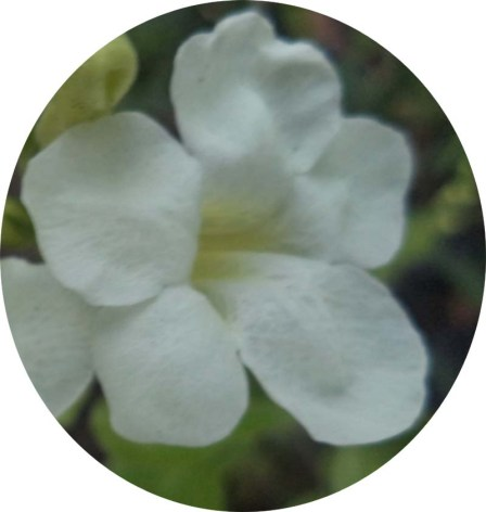 putih