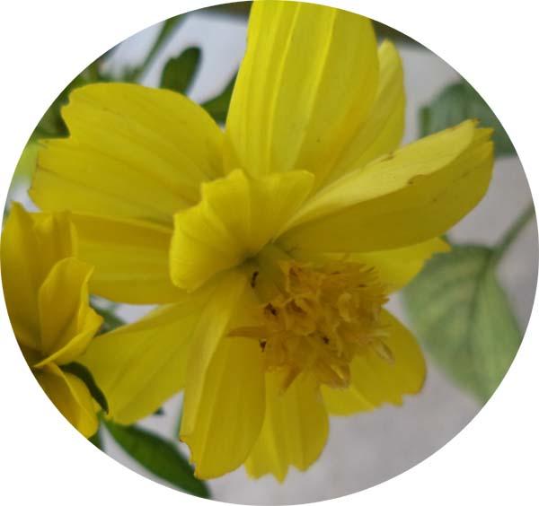 Yellow Cosmos bipinnatus