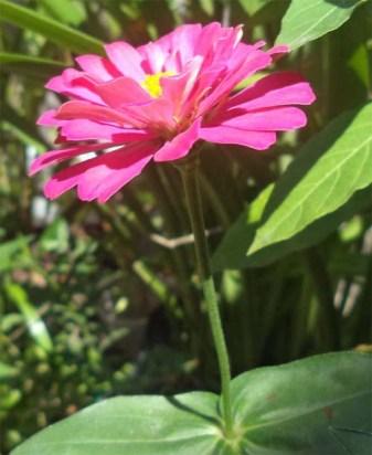 zelegans-pink