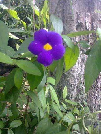 bush-clock-vineterompetan-ungu