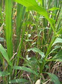 di-antara-tanaman-padi