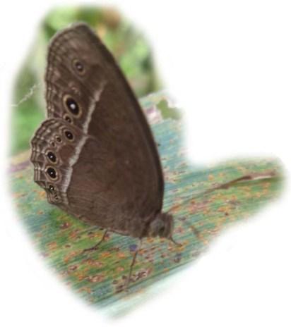 mycalesis-perseus-kupu-rumput-perseus