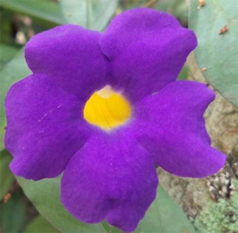 thunbergia-erecta