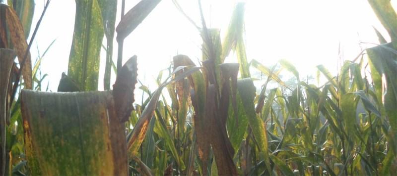habitat-kebun-jagung1