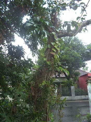 pohon-jambu-air