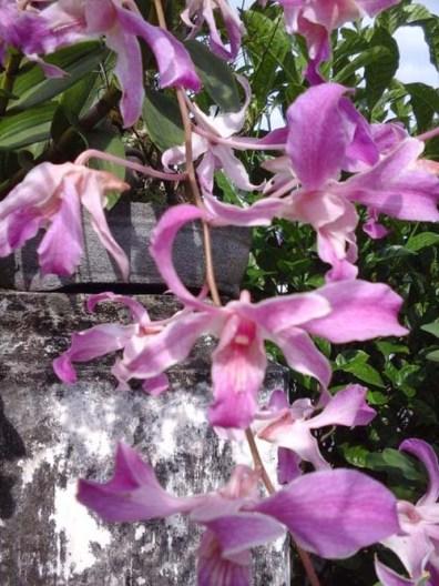 Serial Aku Cinta Anggrek Indonesia Dendrobium X Superbiens