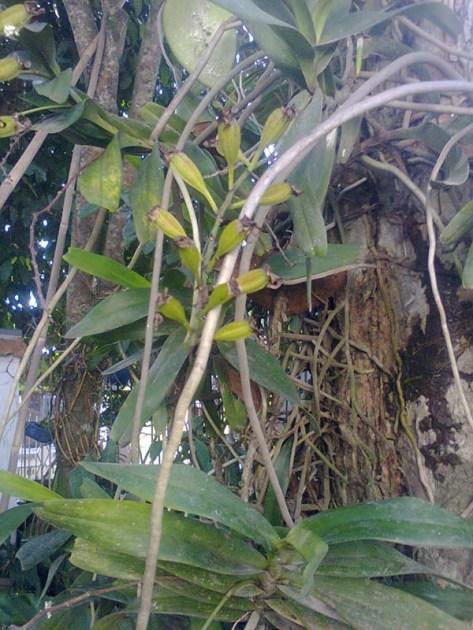 Tempel di pohon, lebih survive
