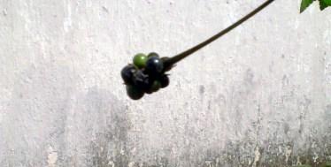 buah tua1