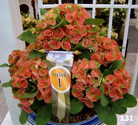 Cheap-Thai-Euphorbia115269