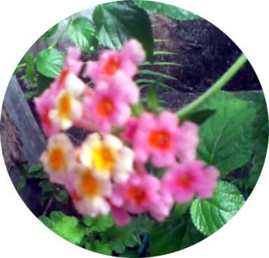 lantana pink2