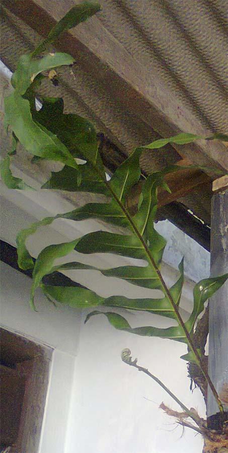 daun fertile