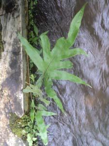 tumbuh di saluran sungai