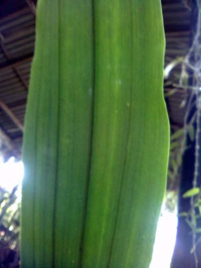 spathe/wiru dengan ujung meruncing/acuminate