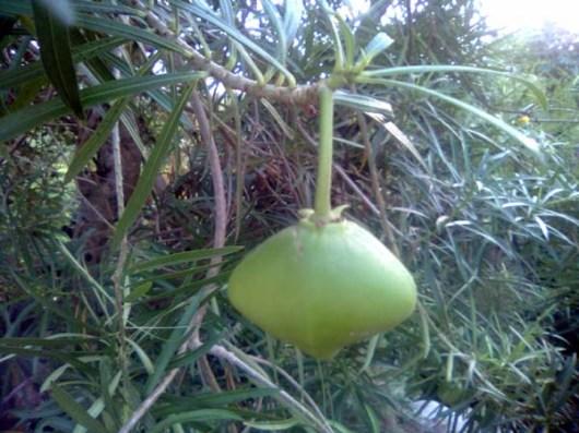 buah yang berukuran kecil biasa dipakai sebagai biji dakon/congklak, sedang yang besar diadu kekuatannya atau dijadikan sebagai permainan lempar-lemparan